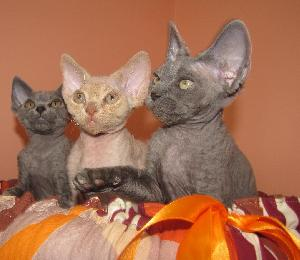 Devon rex kittens available. kittens with pedigree WCF, microchip and full vaccinated. Father from Canada, mother from Latvia. kittens are in Lithuania but we can ship worldwide. kittens for breeding, show and like loving pet.price from 500 euros. facebook vestina ziukiene