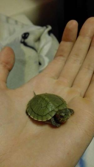 Kilpikonnan Ikä