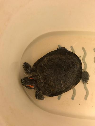 Kilpikonna Myydään